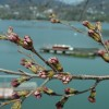 4月8日 東条湖畔の桜です。 三田市千丈寺湖の桜に比べると 蕾みのふくらみが大きいです。